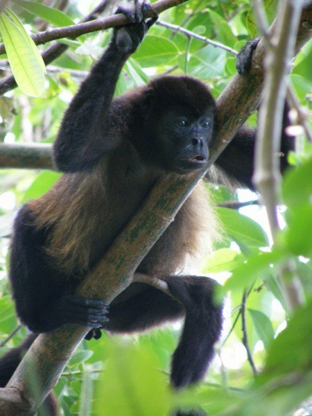 Ometepe Howler Monkeys Nicaragua