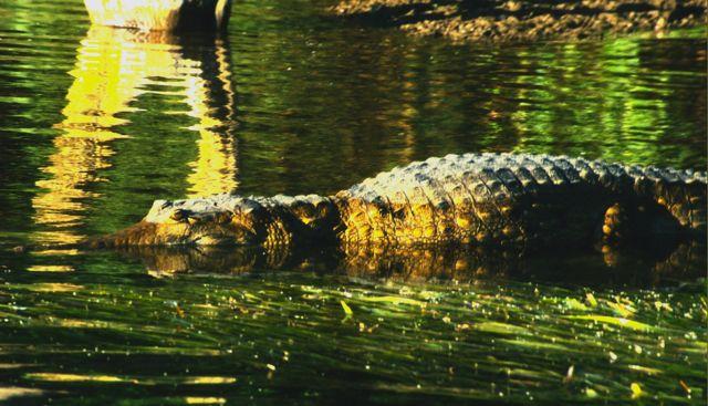 Crocodile in Kakadu National Park, Australia