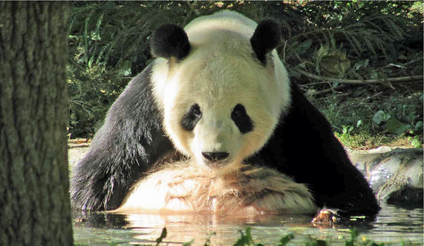 Perfect Panda photo opportunity
