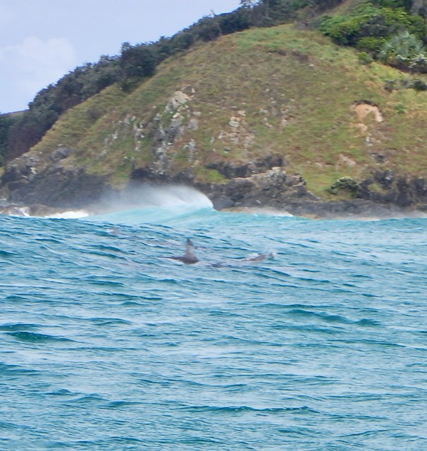 Dolphins off Cape Byron