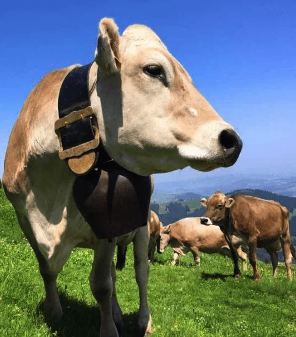 Swiss cow with bell on its neck in an alpine meadow.